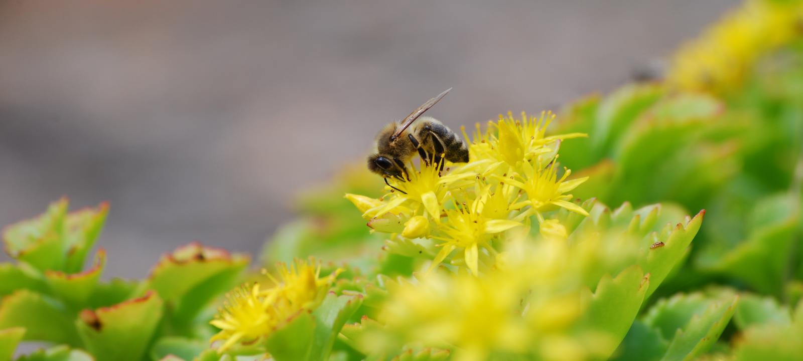Bee on Sedum plant