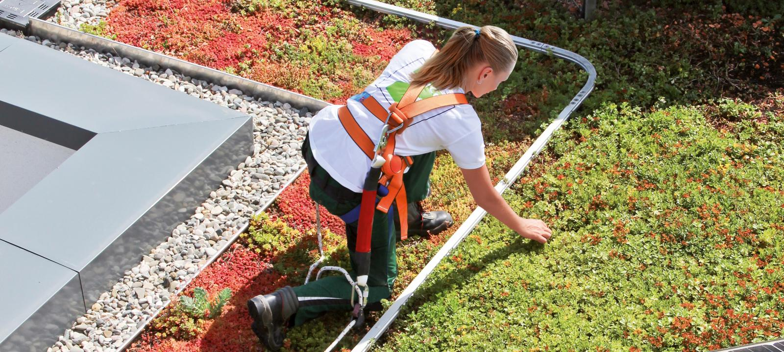 Gardener with fall protection working on a green roof