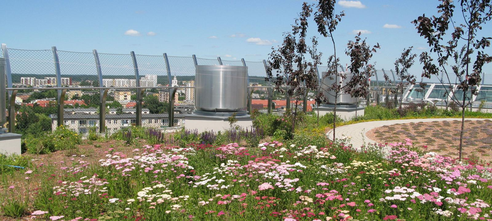Roof garden with pink yarrow