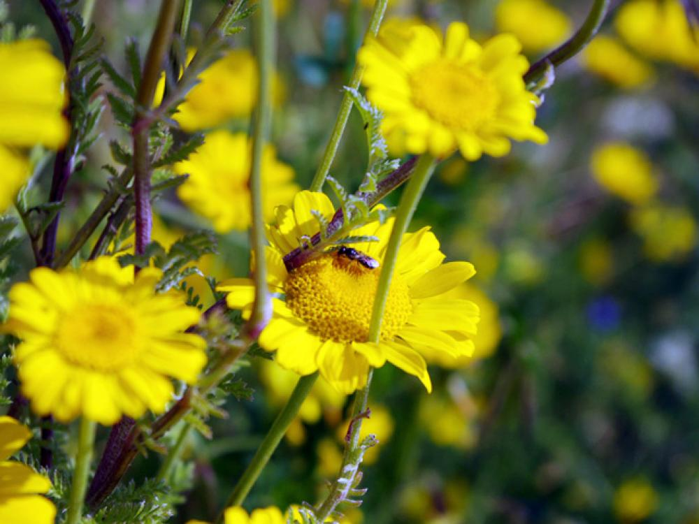 Insect on Yellow Chamomile