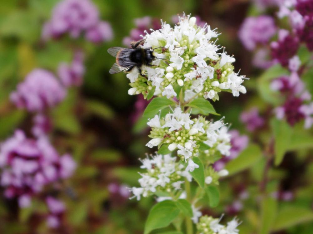 Bumblebee on Origanum
