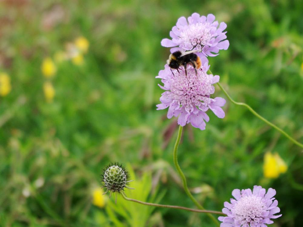 Bumblebee on a Scabiosa flower