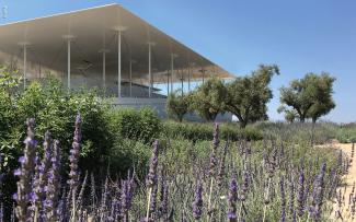 Green roof with olive trees and lavender