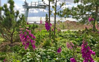 Foxgloves growing on a green roof