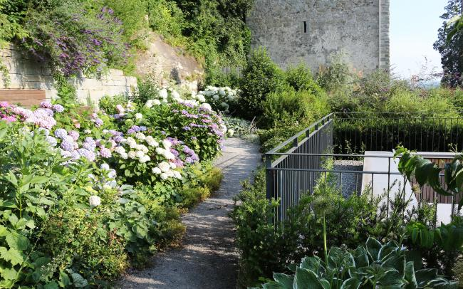 Pathway lined with numerous Hydrangeas