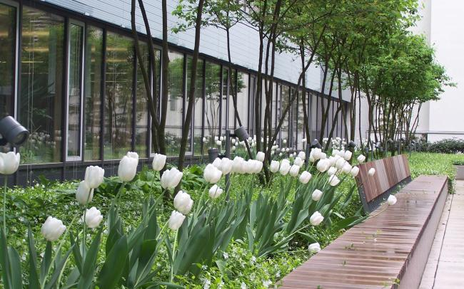 White flowering tulips in front of offices